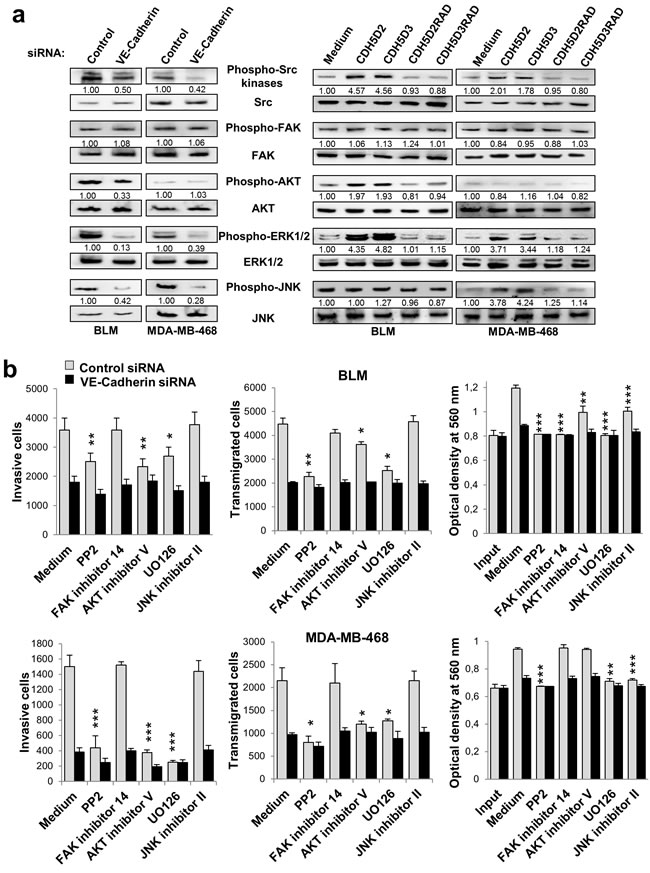 VE-cadherin regulates the activation of signalling proteins involved in cell invasion, transmigration and proliferation.