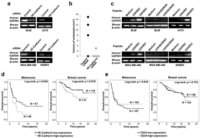 VE-cadherin expression is associated with lung metastasis in mouse models and poor survival in melanoma and breast cancer patients.
