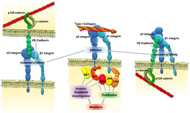 VE-cadherin promotes metastatic colonization.