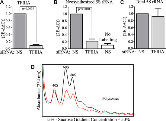 TFIIIA depletion lead to 5S rRNA neosynthesis inhibition.