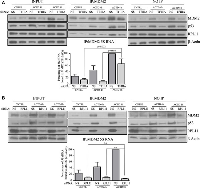 After ribosome biogenesis inhibition the assembly of the 5S RNP complex occurs under a reduction of 5S rRNA neosynthesis.