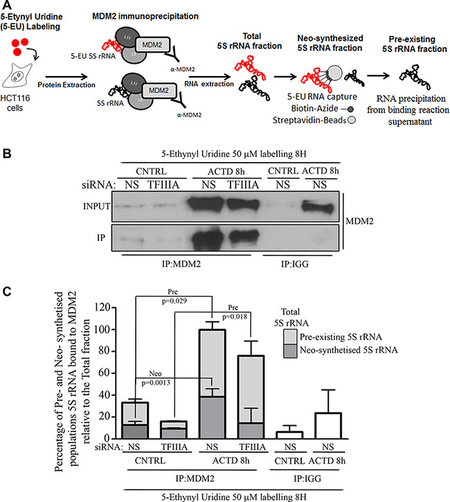 Pre-existing 5S rRNA is recruited to MDM2 binding during ribosome biogenesis inhibition.
