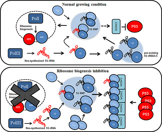 The pre-existing population of 5S rRNA effects p53 stabilization during ribosome biogenesis inhibition.