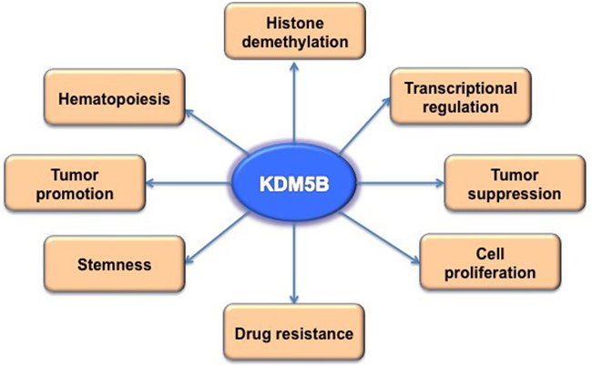 The biological function of KDM5B.