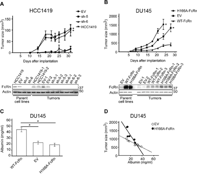 The expression level of FcRn controls the growth of tumor xenografts.