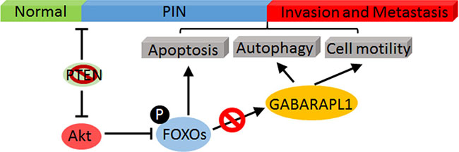 A schematic model of Akt-mediated negative regulation of FOXOs/GABARAPL1 in CaP progress and metastasis.