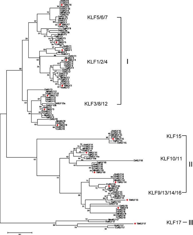 Maximum Likelihood Phylogenetic tree of KLFs from human, monkey, rat, mouse, tree shrew, chicken and zebrafish sequences.