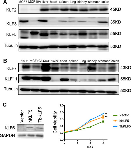The protein expression levels of tree shrew KLF2, 3, 5, 7 and 11 in different tissues and tbKLF5 promotes cell proliferation like hKLF5.