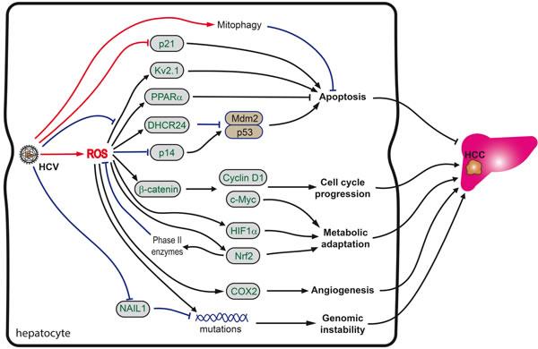 Role of oxidative stress in HCV-induced hepatocarcinogenesis.