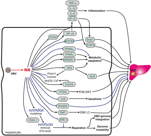 Role of oxidative stress in HBV-induced hepatocarcinogenesis.