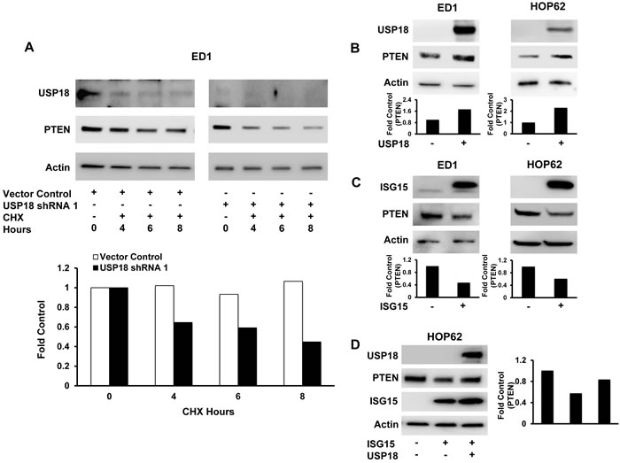 Modifying USP18 and ISG15 protein levels altered PTEN protein stability.
