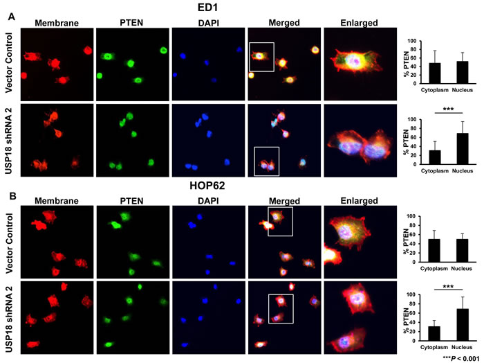 Loss of USP18 expression decreased cytoplasmic PTEN protein.