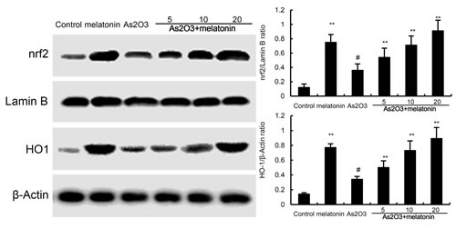 Effects of melatonin on Nrf2 and HO-1 expression.