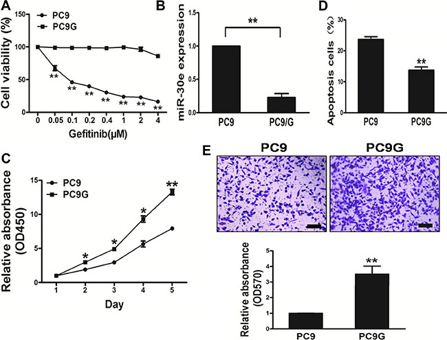 PC9Gcells show enhanced proliferation andmigration, and reduced apoptosis compared with PC9 cells.