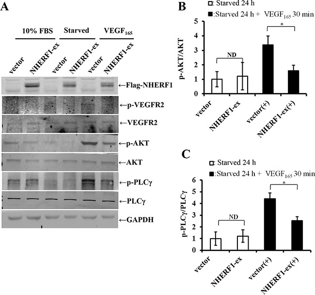 NHERF1 inhibited the phosphorylation activation of VEGFR2 and its downstream AKT and PLCγ activation induced by VEGF165.