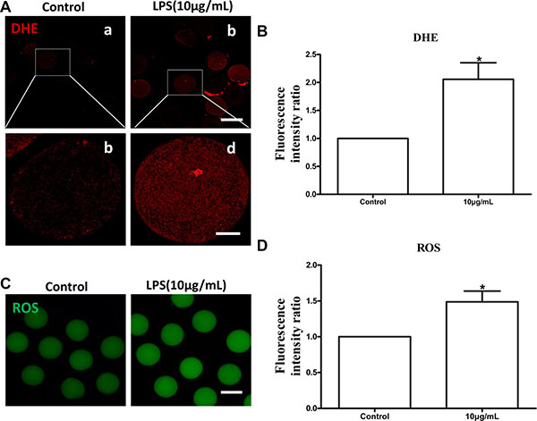 Lipopolysaccharide treatment increased DHE and ROS generation in bovine oocytes.
