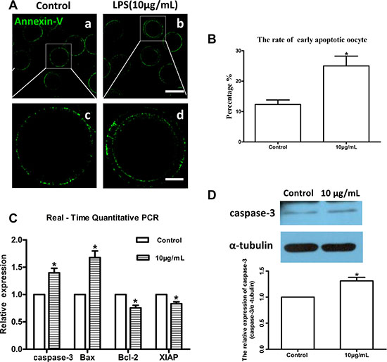 Lipopolysaccharide exposure induced apoptosis in bovine oocytes.