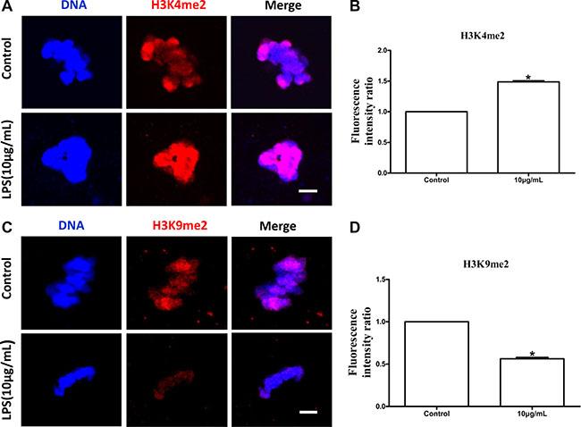 Lipopolysaccharide exposure changed the levels of global H3K4 methylation (H3K4me2) and H3K9 methylation (H3K9me2) in bovine oocytes.
