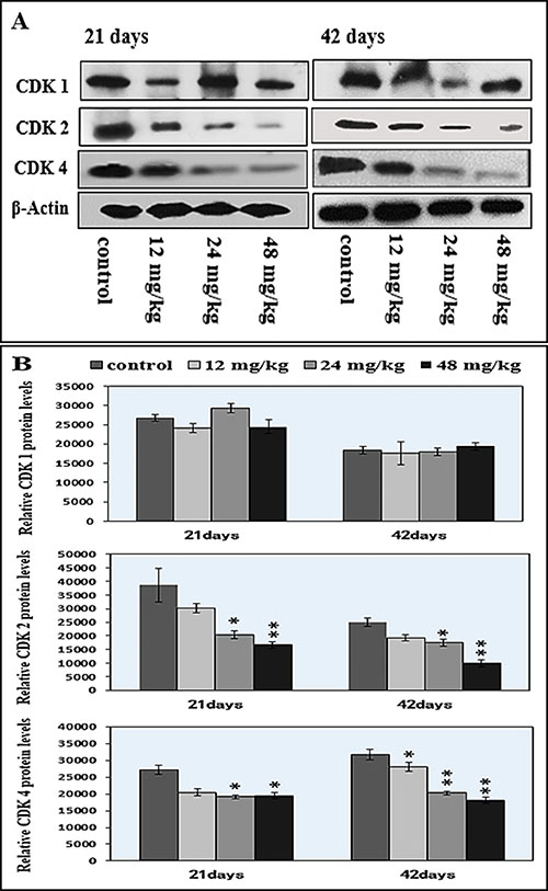 Changes of cdk1/2/4 protein expression levels in the spleen by western blot.