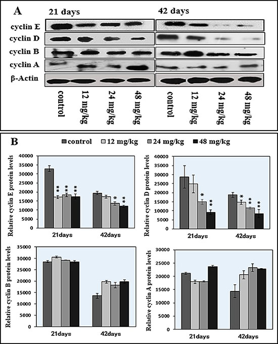 Changes of cyclin E/D/B/A protein expression levels in the spleen by western blot.