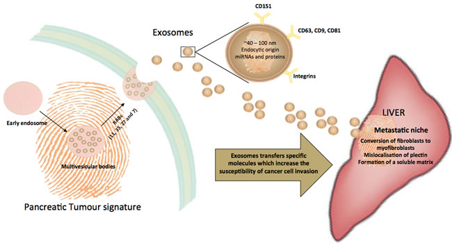 Trafficking of exosomes to the liver, a common site of metastasis for pancreatic cancers.