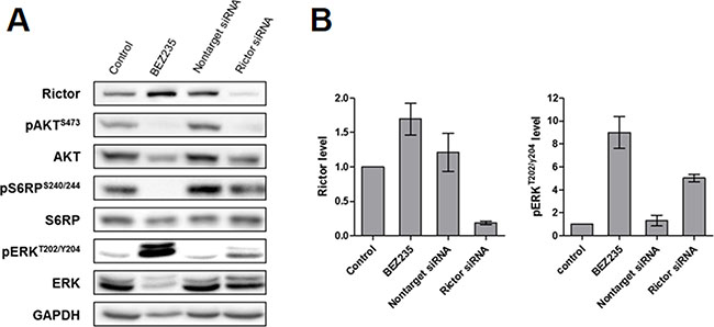 Effect of RICTOR silencing on the PI3K and MAPK downstream signaling pathways in the IB134 cell line.