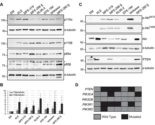 p110β levels are elevated in endometrial cancer cell lines.