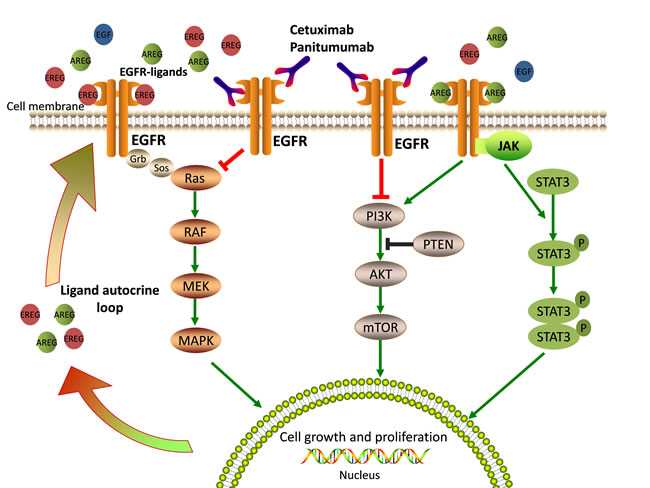 EGFR-mediated signaling pathways and mechanisms of anti-EGFR therapy.