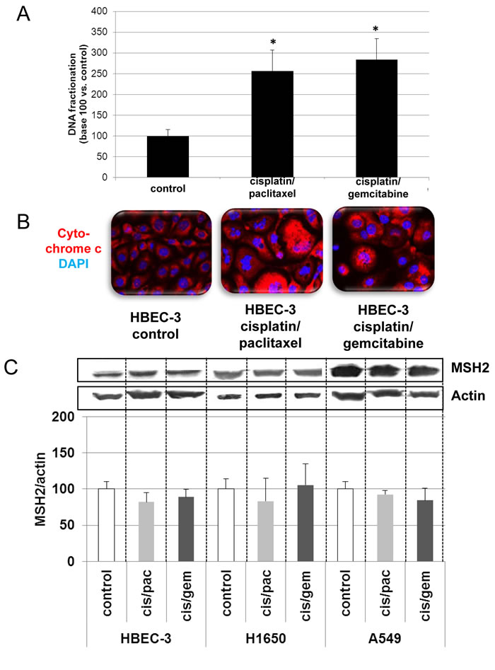 Effects of cisplatin/paclitaxel or cisplatin/gemcitabine treatment on DNA fragmentation (A), cytochrome C release (B), and MSH2 expression (C) in bronchial cell lines.