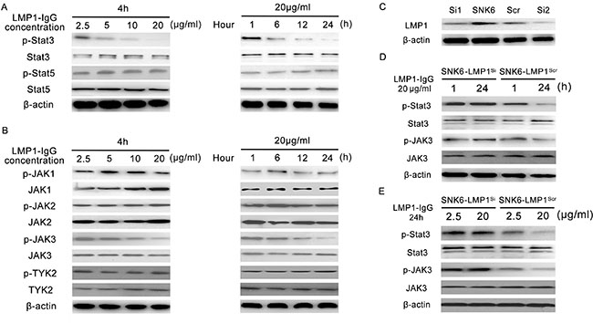 The influence of LMP1-IgG on the JAK/STAT pathway in ENKTL.