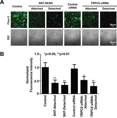 Inhibition of TRPC6 reduces intracellular Ca2+.