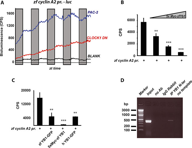 Regulation of zf Cyclin A2 expression by zfYB-1.