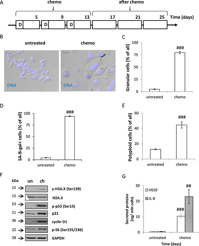Oncotarget   Bafilomycin A1 triggers proliferative potential of