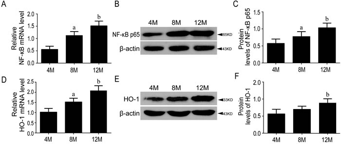 The levels of NF-κB p65 and HO-1 were increased during aging.