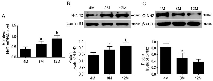 Nrf2 pathway was activated during aging in SAMP8 mice.