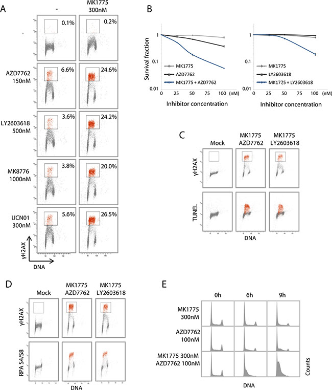 Combined Wee1 and Chk1 inhibition synergistically enhances replication catastrophe.