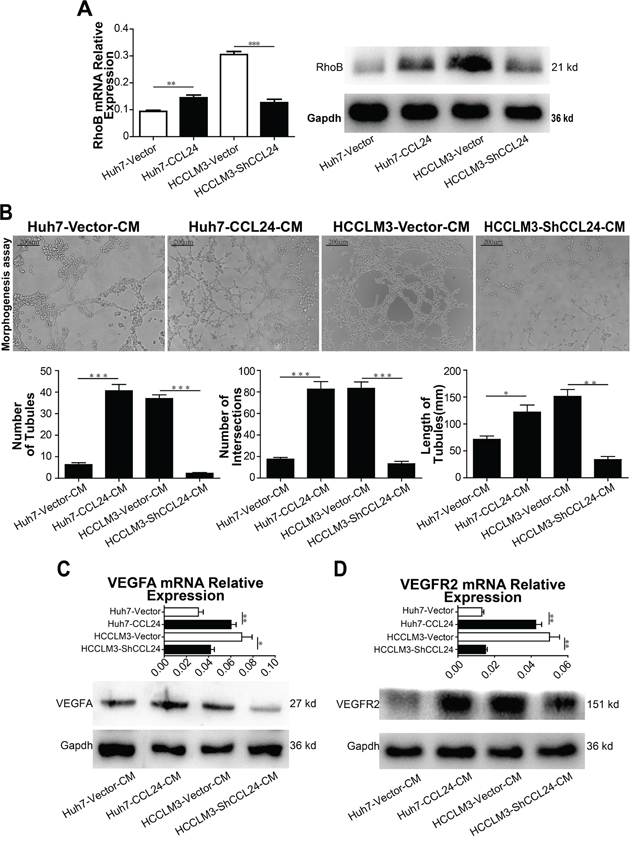 CCL24 promotes migration and invasion of HUVECs and VEGFA signaling pathway.