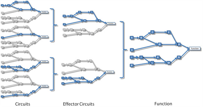 Schema that illustrates the relationship between circuits, effector circuits and functions.