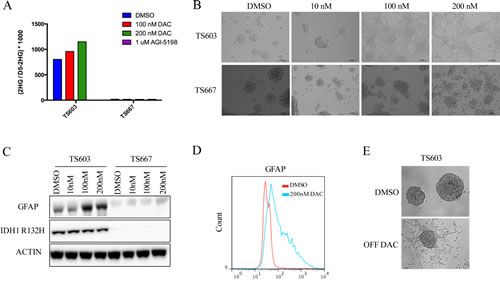 Decitabine efficiently induces differentiation in IDH1 mutant patient derived glioma initiating cells.