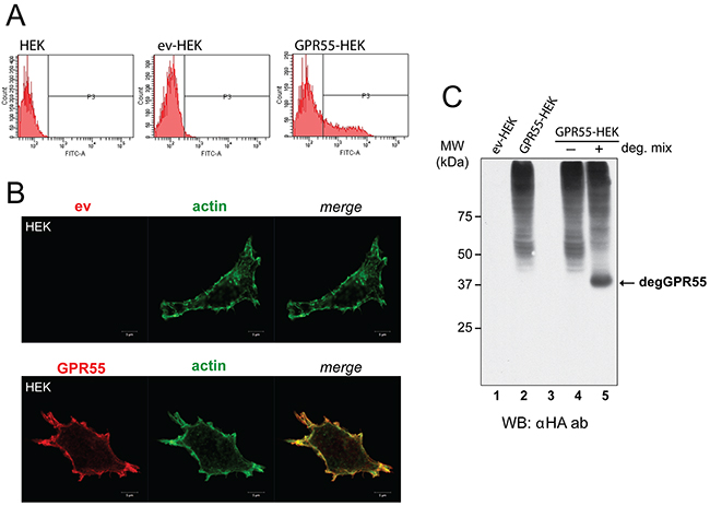 Characterization of cells overexpressing GPR55 as phage-display bait.
