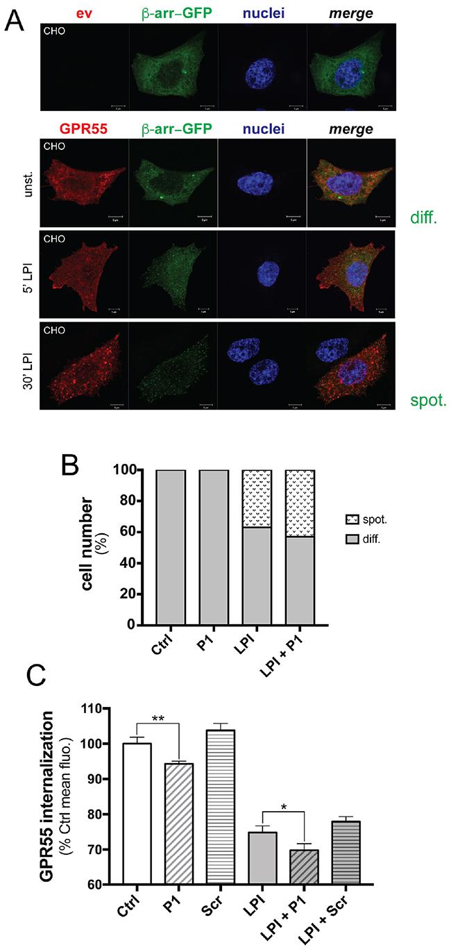 Peptide P1 stimulates GPR55 internalization.