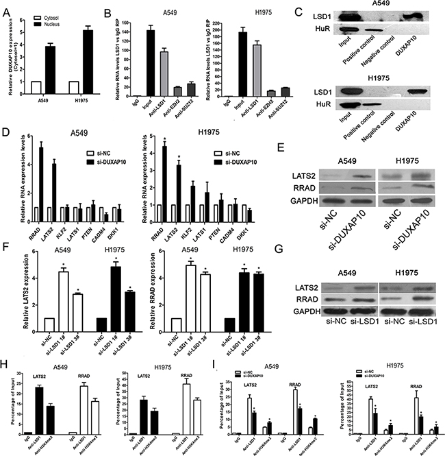 DUXAP10 could inhibit LATS2 and RRAD expression.