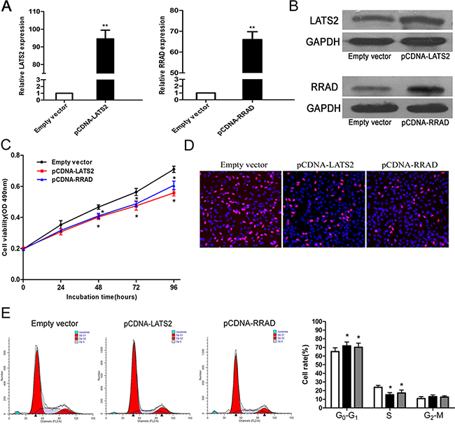 Effect of LATS2 and RRAD of overexpression on A549 cell in vitro.