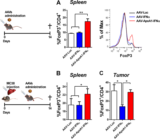 AAV-ApoA1-IFNα increases the FoxP3+ percentage in CD4+ T cells.