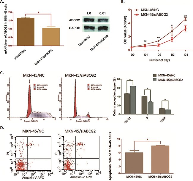 Effects on cell cycle, cell proliferation and cell apoptosis by depleting ABCG2 in MKN-45 cells.