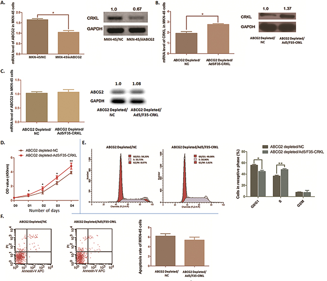 CRKL was modulated by ABCG2 depletion and partly reversed the biological phenomena induced by ABCG2 depletion in MKN-45 cells.