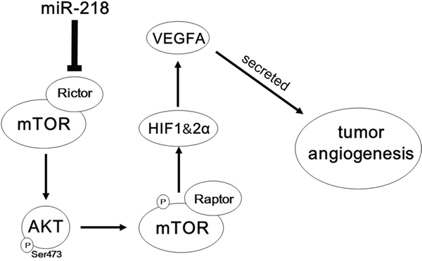 Schematic representation of the roles of miR-218-RICTOR/pAKT/pmTOR-HIF1α&HIF2α-VEGFA signaling on the angiogenic properties of PCa cells.