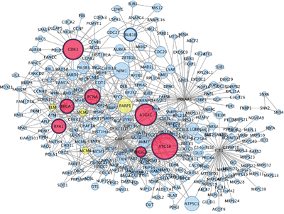 Hub genes and their first connected genes from network detected among up-regulated genes in co-cultured keratinocytes and melanocytes from individuals harbouring Red hair color MC1R variants (GSE44805 dataset).