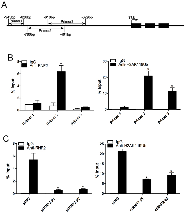 Knockdown of RNF2 decreased the enrichment of RNF2 and H2AK119Ub at the TXNIP promoter.