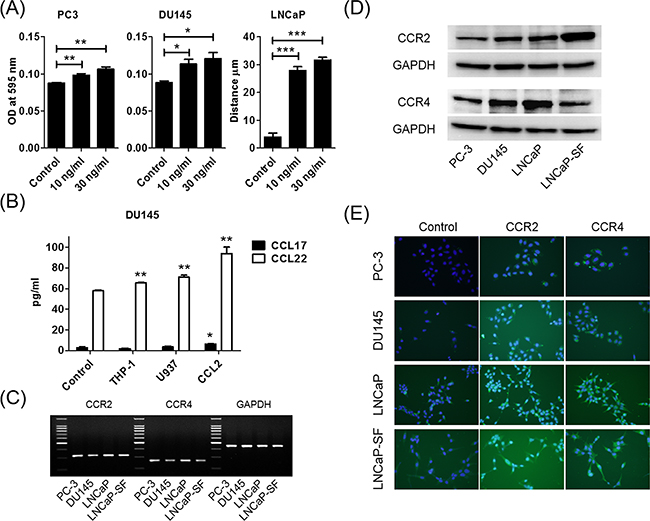 CCL2 promotes prostate cancer cell migration and induces CCL22 secretion, which is a ligand of CCR4.